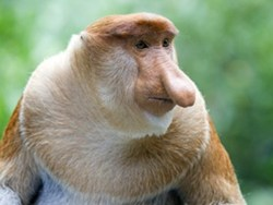 Sarawak e Bako National Park tra scimmie nasiche e orangutang.